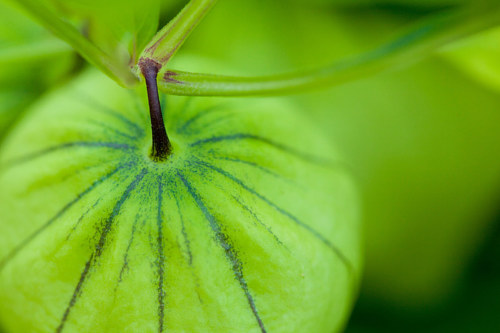 A close-up photo of a tomatillo