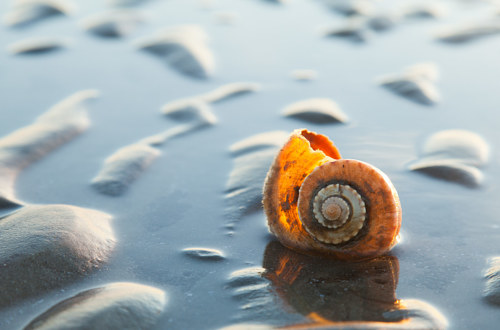 A photo of a whelk shell on the beach