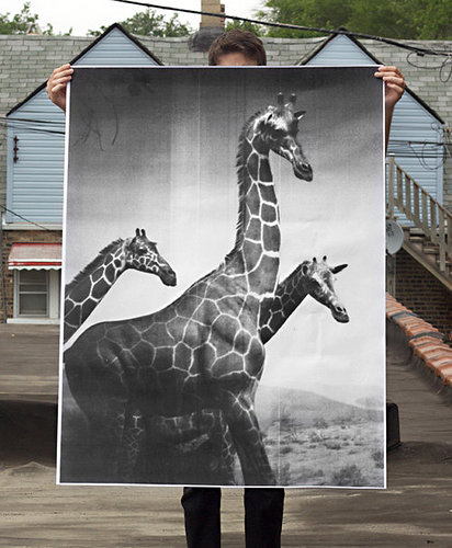 man holding a picture of giraffes