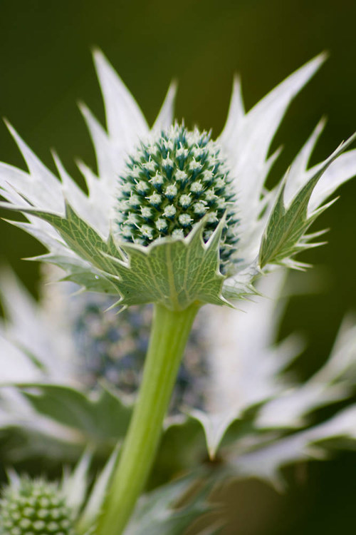 A photo of a thistle plant