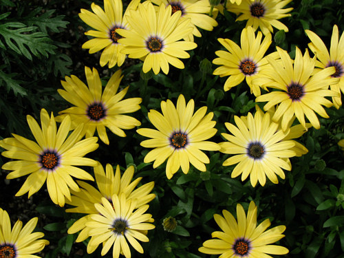 A photograph of yellow daisies