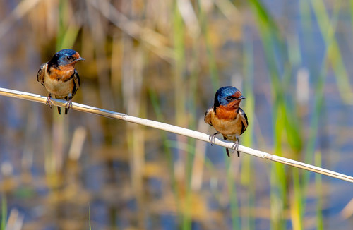 A photo of a pair of birds sitting on a reed