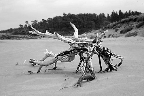 Black and White photo of drift wood on beach