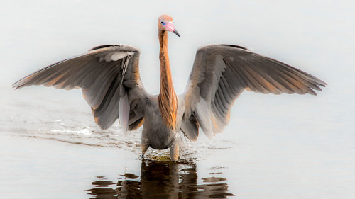 A photograph of a reddish egret