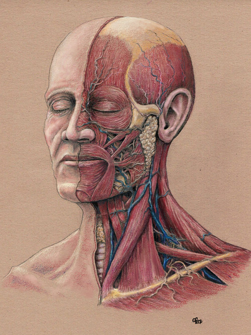 An illustration of the anatomy of the head and neck