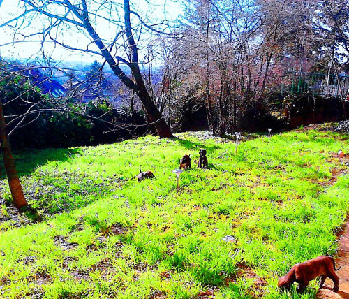 A photo of some small dogs on a lawn in the spring