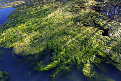 A photograph of a green bed of seaweed
