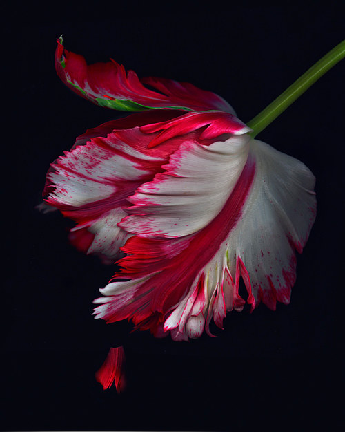 A scanned image of a red and black tulip