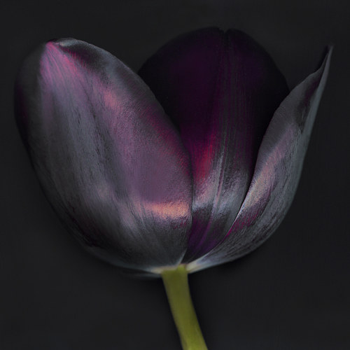 A scanned image of a purple tulip