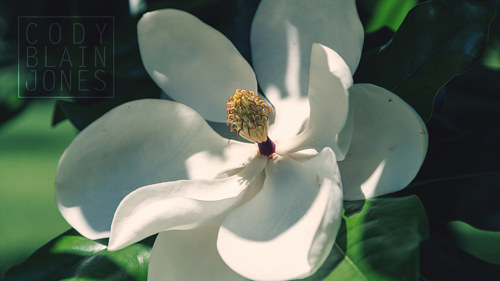 A photograph of a magnolia flower