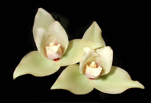 A photograph of white orchids close up