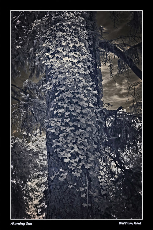 An infrared photo of vines covering a tree