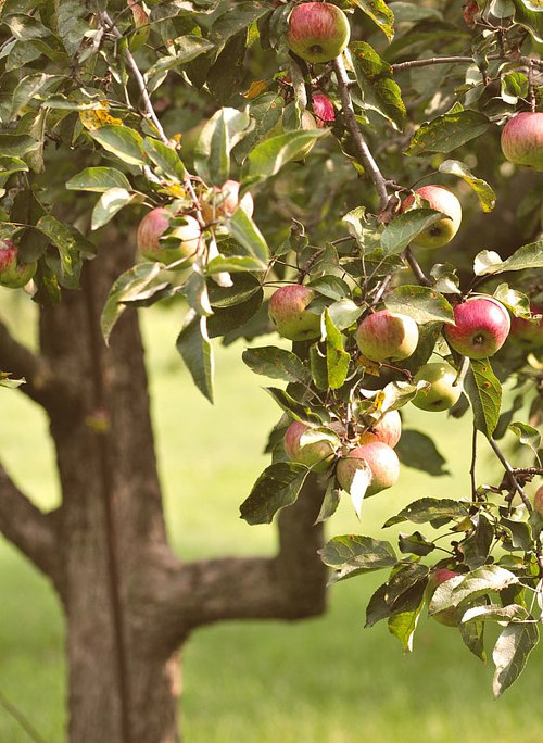 A photograph of an apple tree