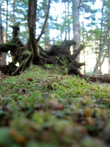 A close-up photo of a mossy forest floor
