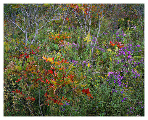 A photo of a dense field of sumac and asters