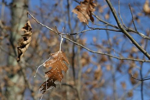 A photo of a dying leaf with white thread sewn into it