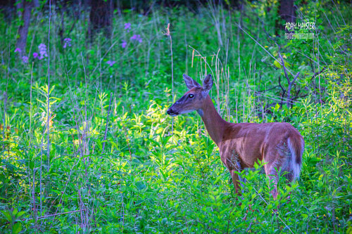 A photo of a deer in a green meadow