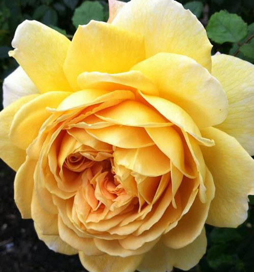 A photo of a blooming yellow rose