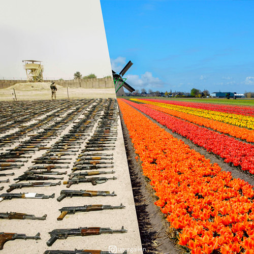 A photo of a tulip field next to a photo of machine guns laid out on the ground
