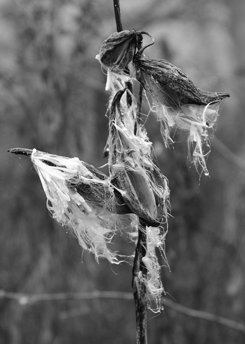 A photo of a wilted flower in black and white