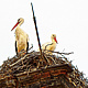 NESTING STORKS by Joeann Edmonds-Matthew