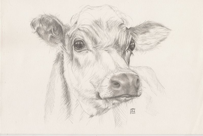 Drawing Study of a Cow by Richard Mountford