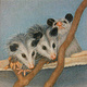 Drawing Joeys (Baby Opossums) by Claudette Webb