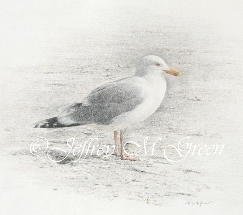 "© Jeffrey M Green. Seagull study, 11"" x 14"", colored pencils by Jeffrey Green"