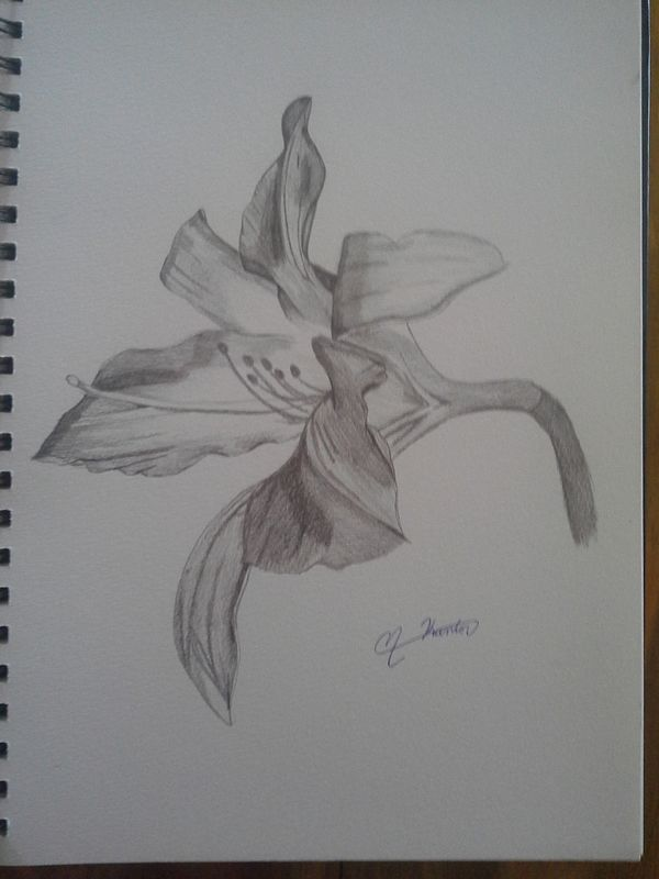 Drawing Study of a Lily by Matt Kantor