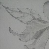 Drawing Orchid 4 by Matt Kantor