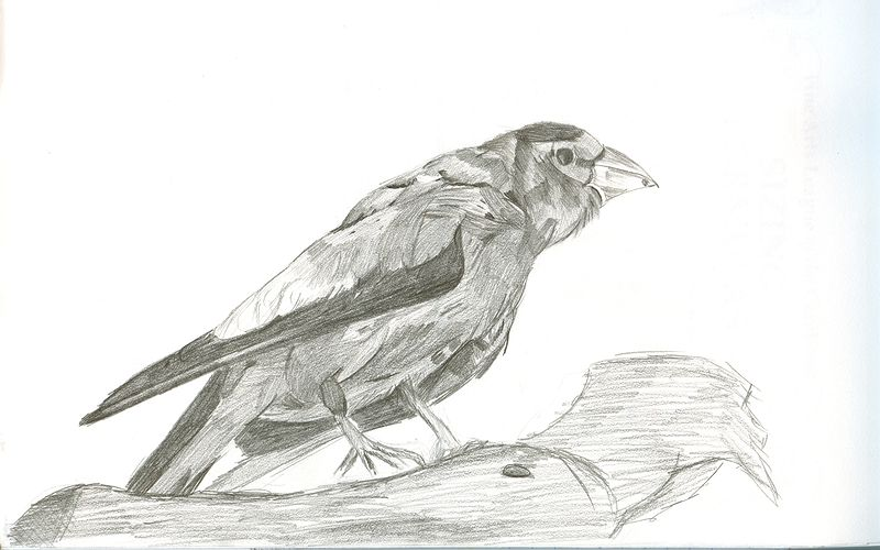 Drawing Study of a Evening Grosbeak by Matt Kantor