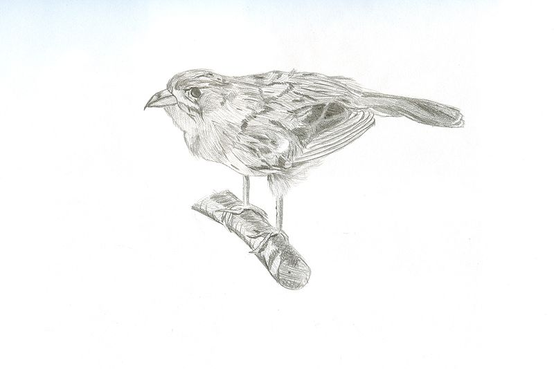 Drawing Study of a Field Sparrow by Matt Kantor