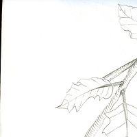 Drawing Study of Leaves by Matt Kantor
