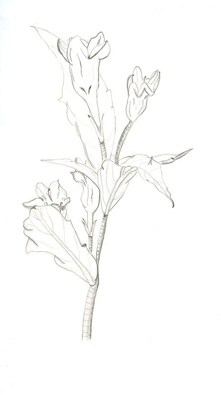 Drawing Study of Flower 2 by Matt Kantor