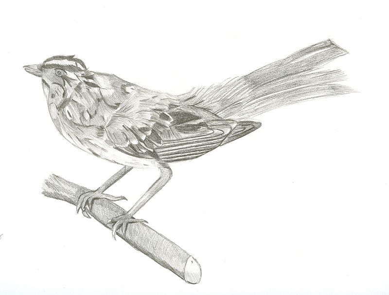 Study of a White-Throated Sparrow by Matt Kantor