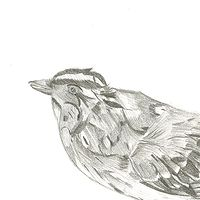 Drawing Study of a White-Throated Sparrow by Matt Kantor