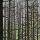 Print Vanishing Forest  by Lawrie  Dignan