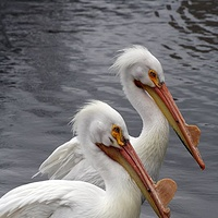 "the mated pair of pelicans featured in ""Navy Stare"" by Belinda Harrow"