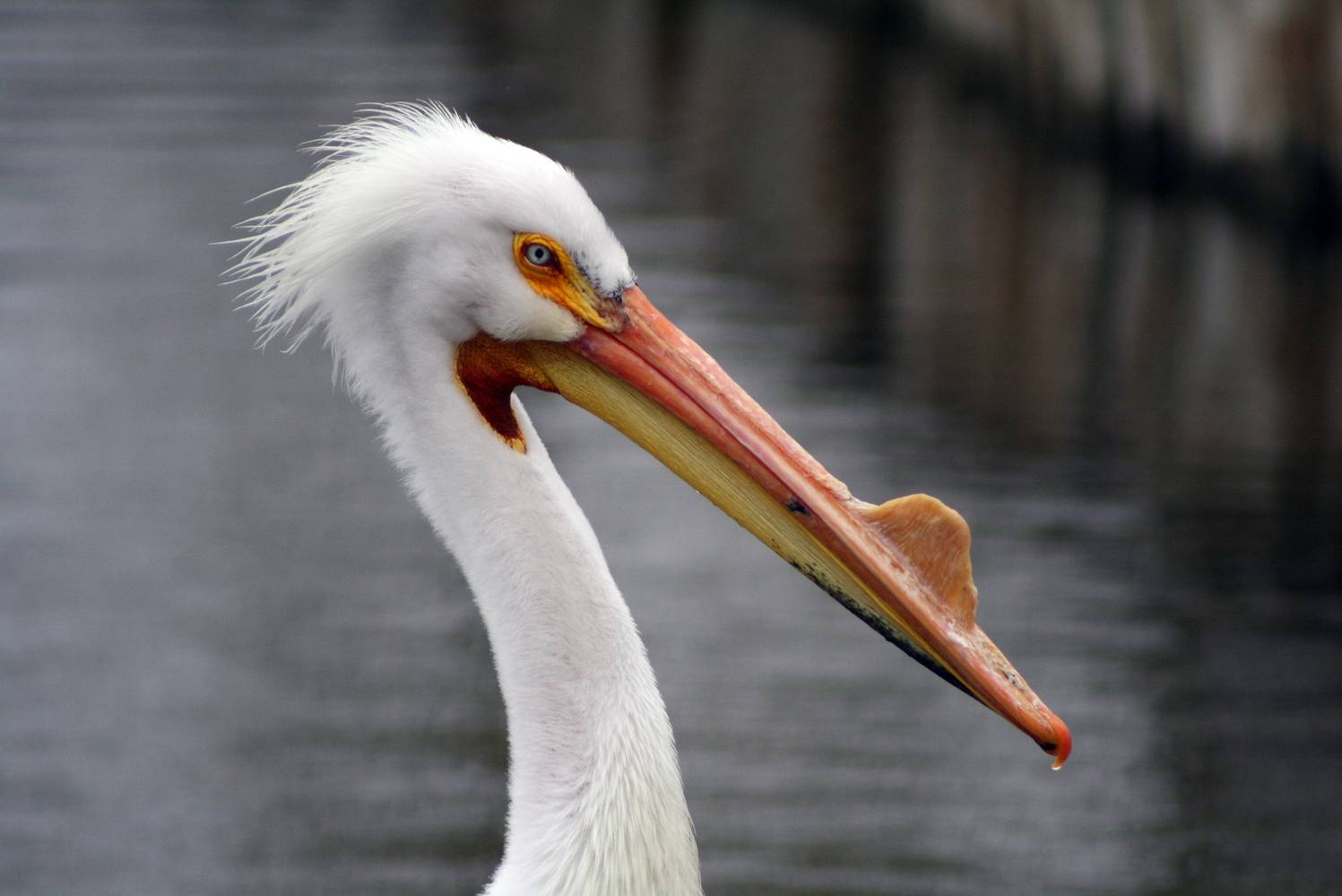 Pelican photographed at Wascana Park Bird Sanctuary by Belinda Harrow