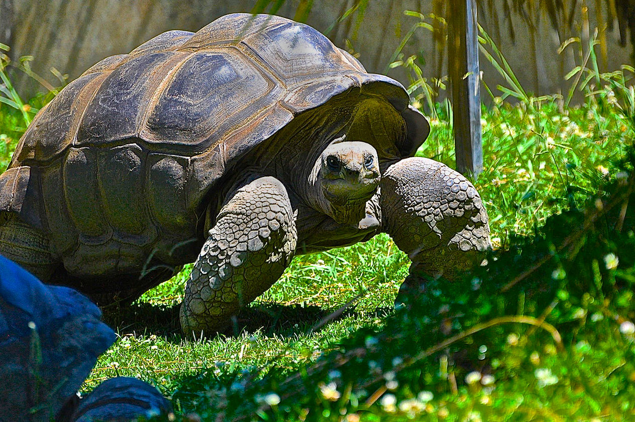 GIANT TORTISE by Joeann Edmonds-Matthew