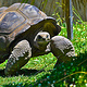 LARGE TURTLE by Joeann Edmonds-Matthew