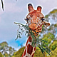 GIRAFFE WITH BRANCH by Joeann Edmonds-Matthew