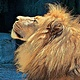 LION WITH BLUE ROCK by Joeann Edmonds-Matthew