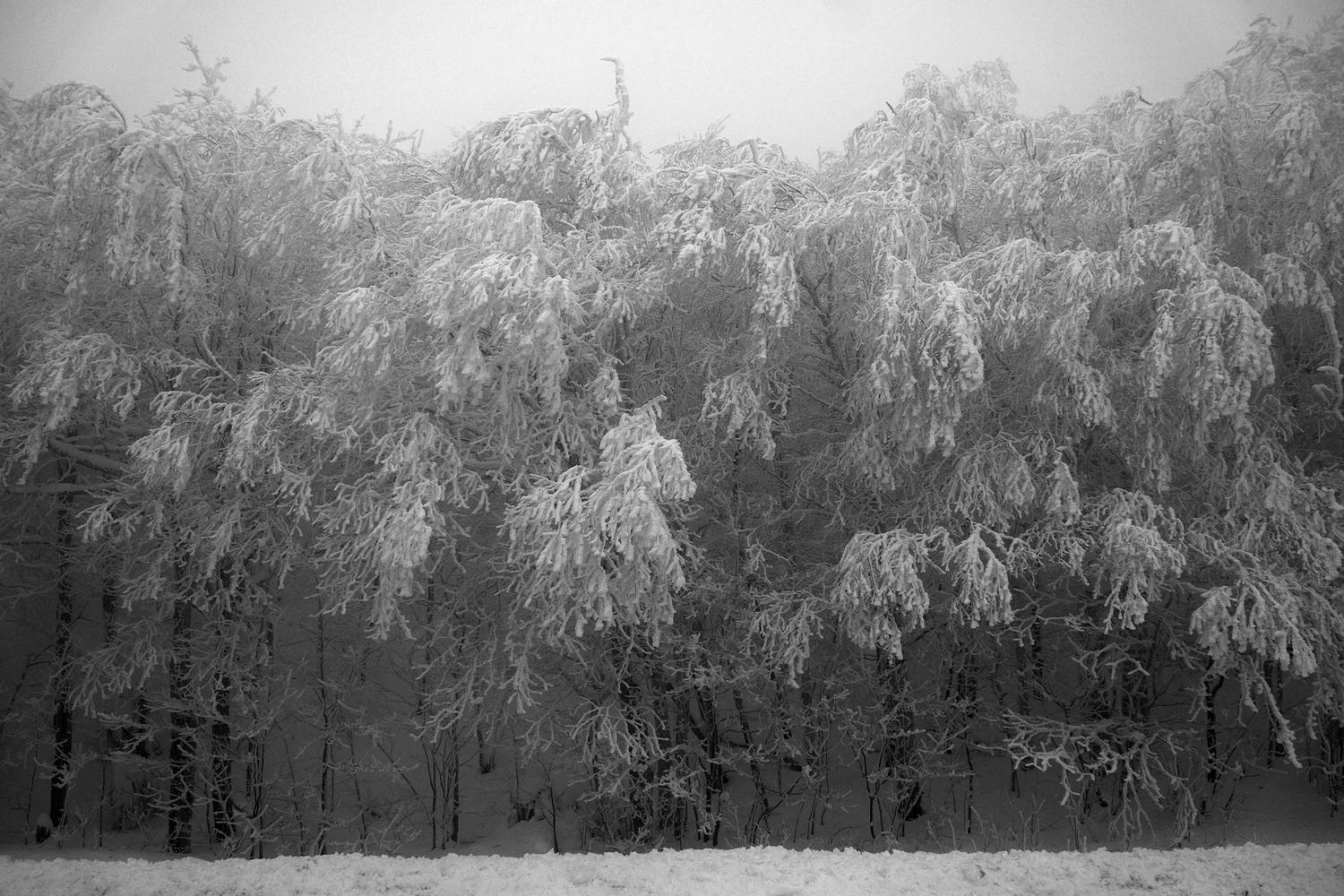 SNOW-trees8_SM by John  Douglas