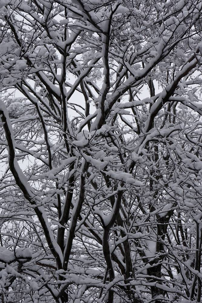 SNOW-trees6_SM by John  Douglas