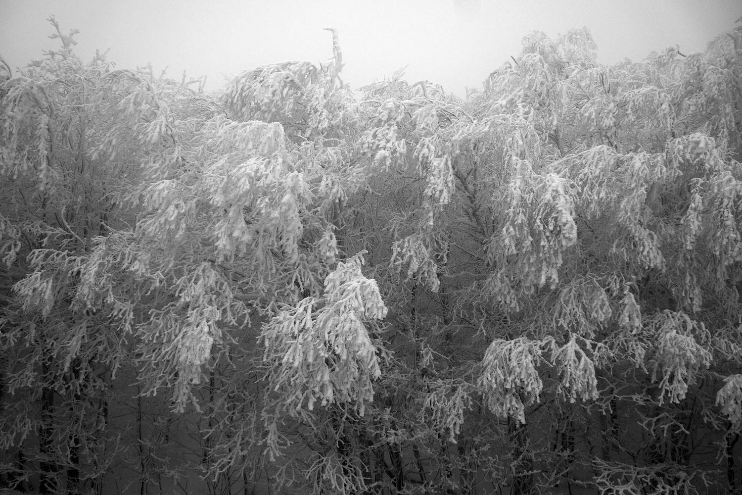 SNOW-trees2_SM by John  Douglas