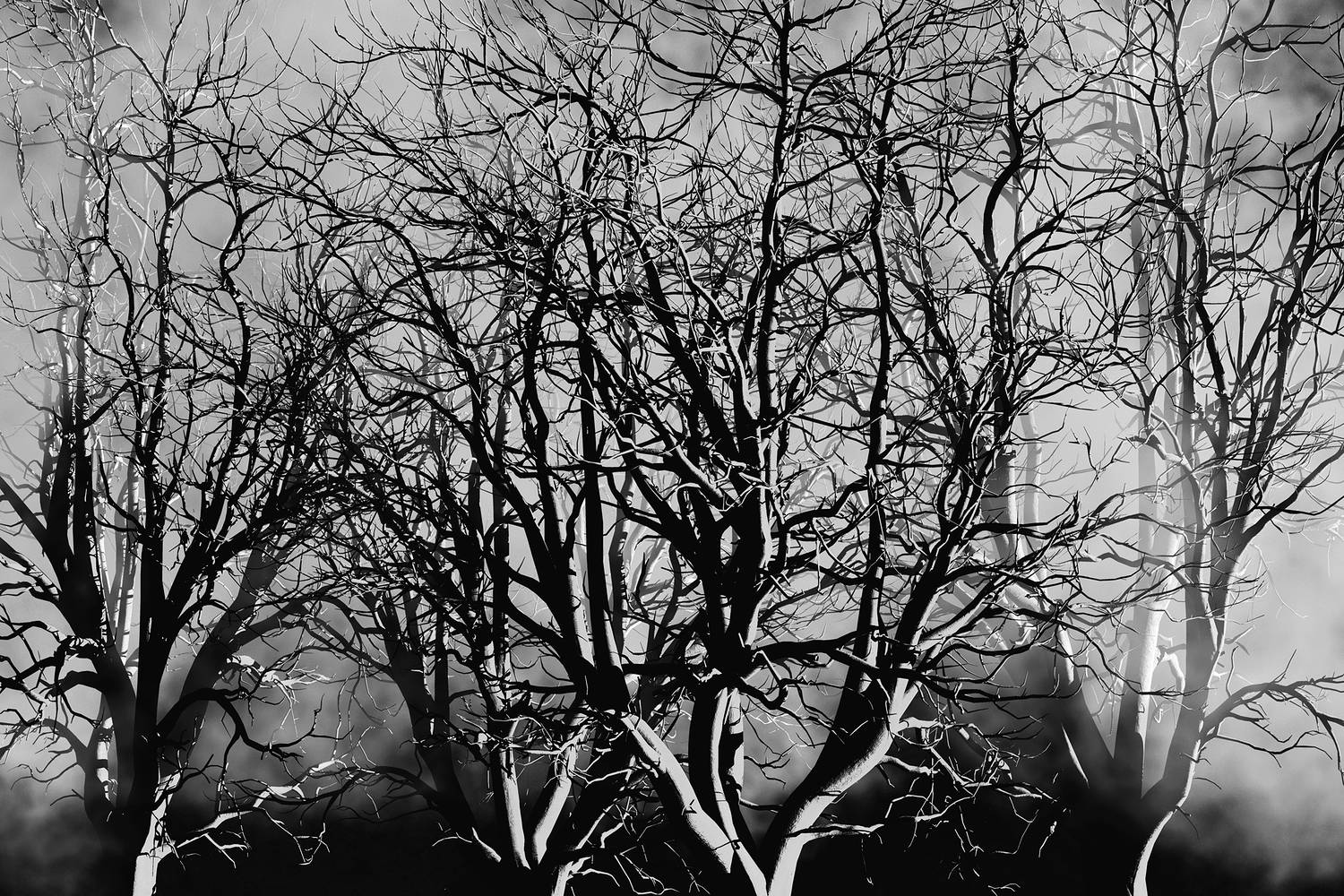 OAK-RED5sun_000BWsm by John  Douglas