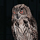 YOUNG HORNED OWL by Joeann Edmonds-Matthew
