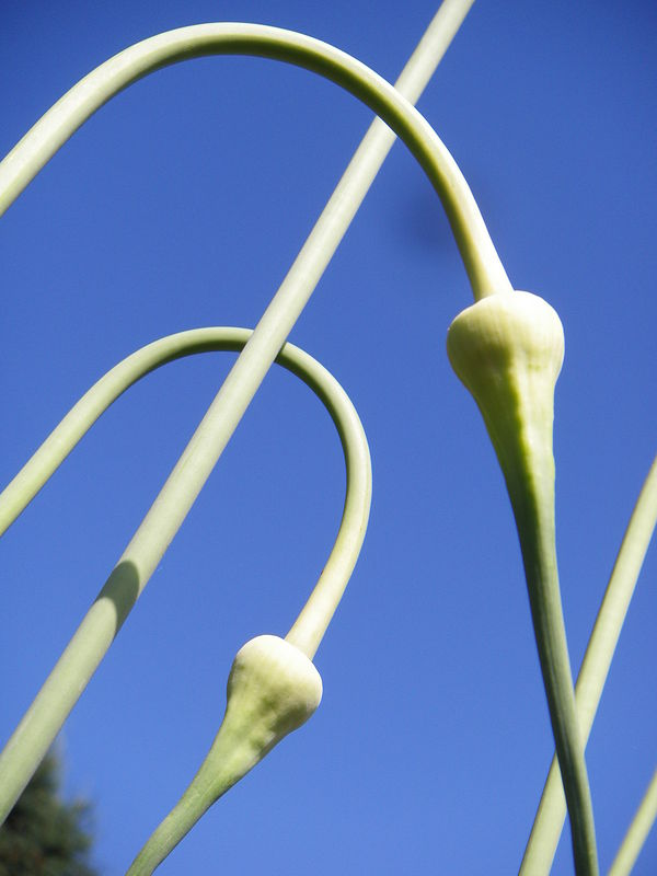 Garlic scapes by Allison Rennie
