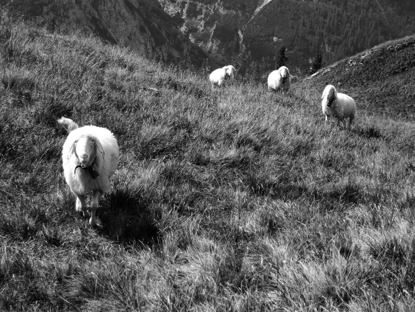Photography Sheep, Karwendel by Matthew Rangel